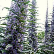 Echium - Snow tower - Blue Steeple - Pink Fountain - 20 seeds